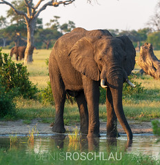Hwange Elephant #explored