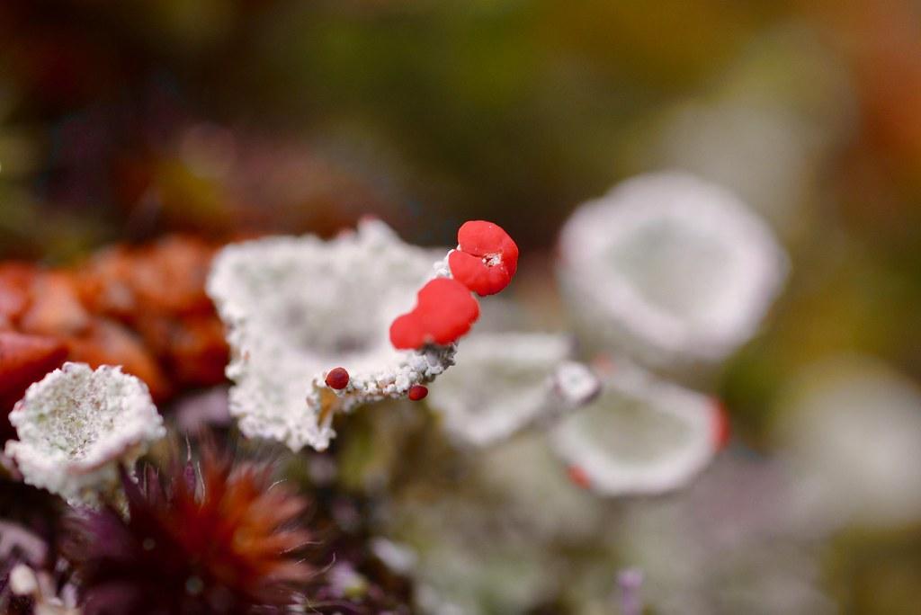 Pixie Cup Lichen *
