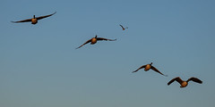 Geese captures