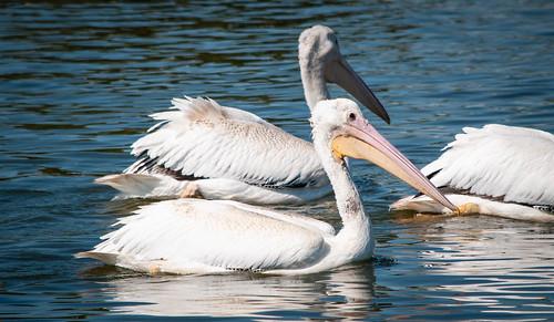 Pelicans Close Up