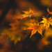 Fall Colours (Maple Leaves) by Curious About Life