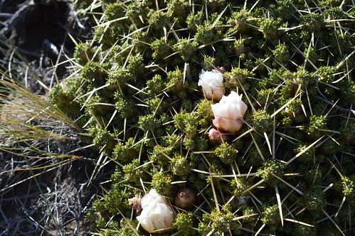 DSC_0122 Maihuenia patagonica  マイフェニア パタゴニカ
