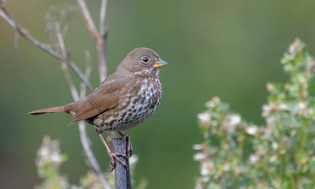 Fox Sparrow (Sooty), Nikon D500, AF-S Nikkor 300mm f/4E PF ED VR