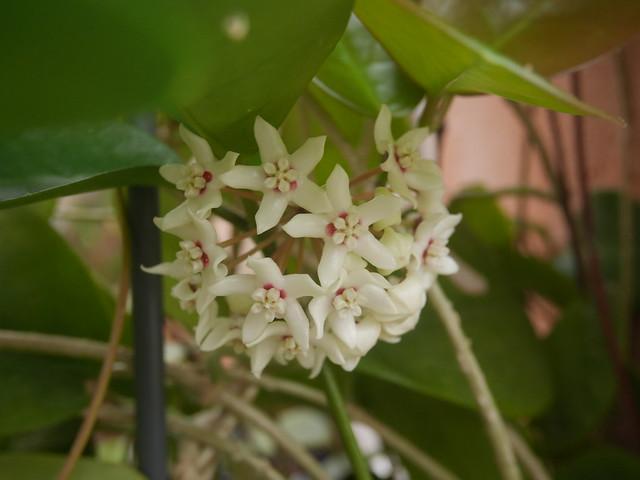 Hoya australis - Page 2 31969767188_3bce2ab461_z