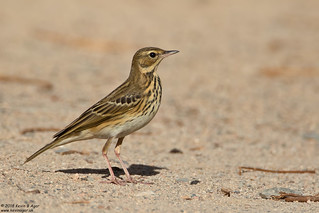 Tree Pipit, Anthus trivialis