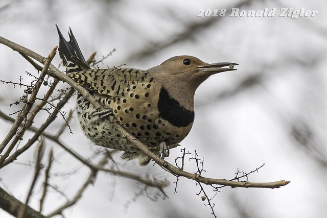 Northern Flicker IMG_0128, Canon EOS 80D, Sigma 150-600mm f/5-6.3 DG OS HSM | C