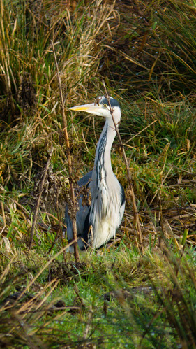 Timid heron, Doxey