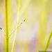 Golden Twig Dogwood by mhoffman1