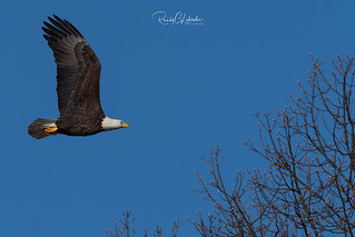 Bald Eagles of New Jersey | 2019 - 4