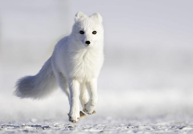 Arctic Fox (Explored 11-5-18)