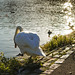 Large Swan - Watch your step :)