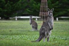 2018 07 06 Kangaroos (35)