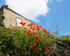 Poppies (Papaver rhoeas), Montsegur - Photo of Raissac