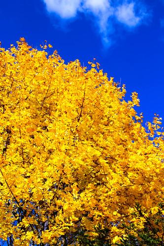 maple fall foliage autumn upstate colors sunny day