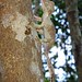 Uroplatus henkeli - (Böhme & Ibisch, 1990) - Gekkonidae - Lokobé - Nosy be - MADAGASCAR by michel-candel
