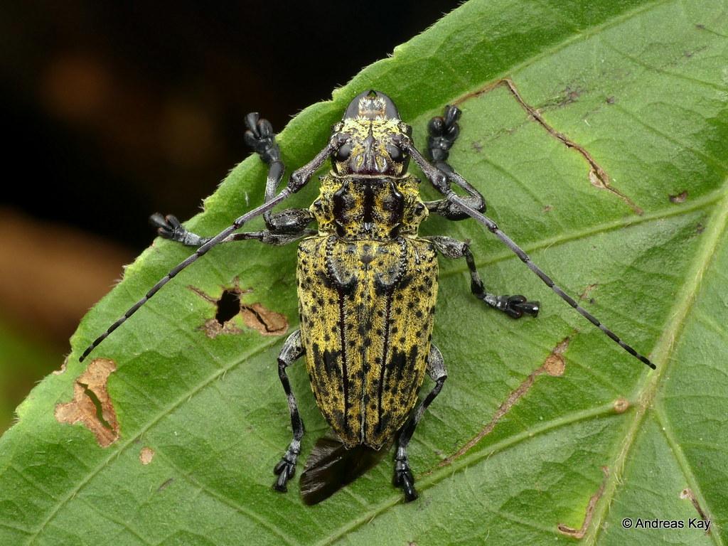 Longhorn Beetle, Steirastoma breve, Cerambycidae