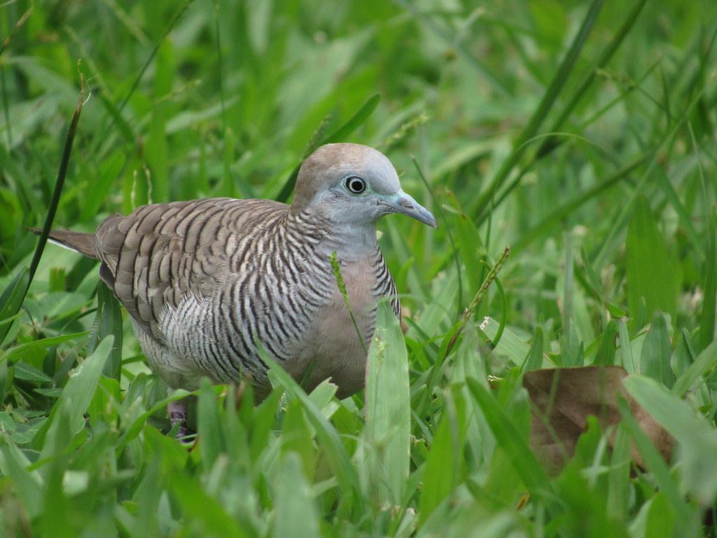 Grassy Dove 11/25/18