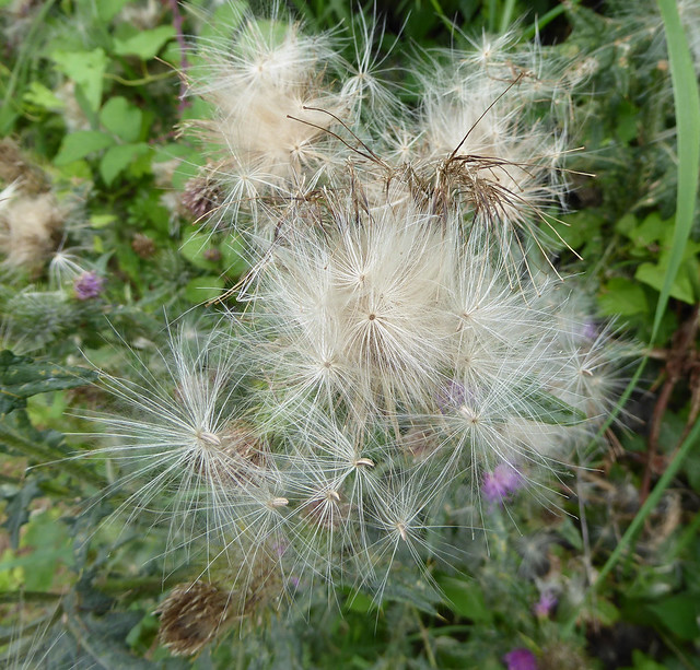 Thistle down