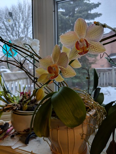 Blooming phalaenopsis orchid by irieknit
