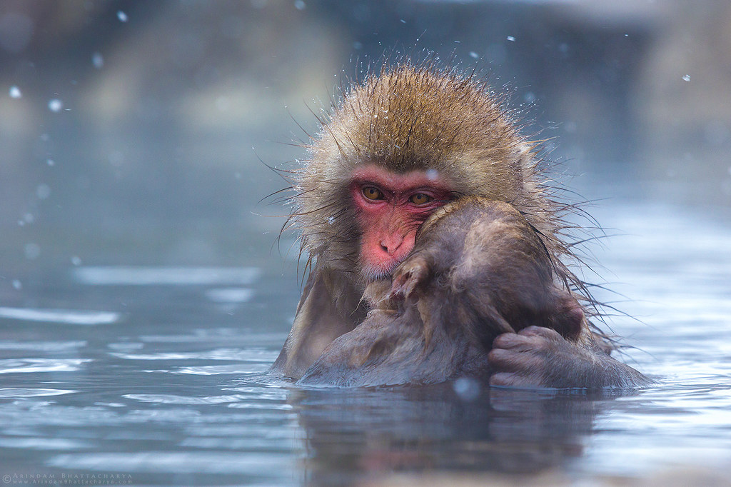Snow monkey mother and her baby during snowfal in Japan by Arindam Bhattacharya