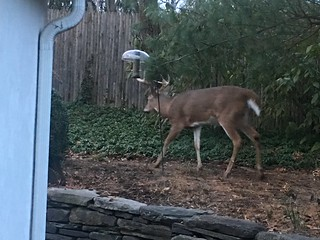 deer visitor, photo 2