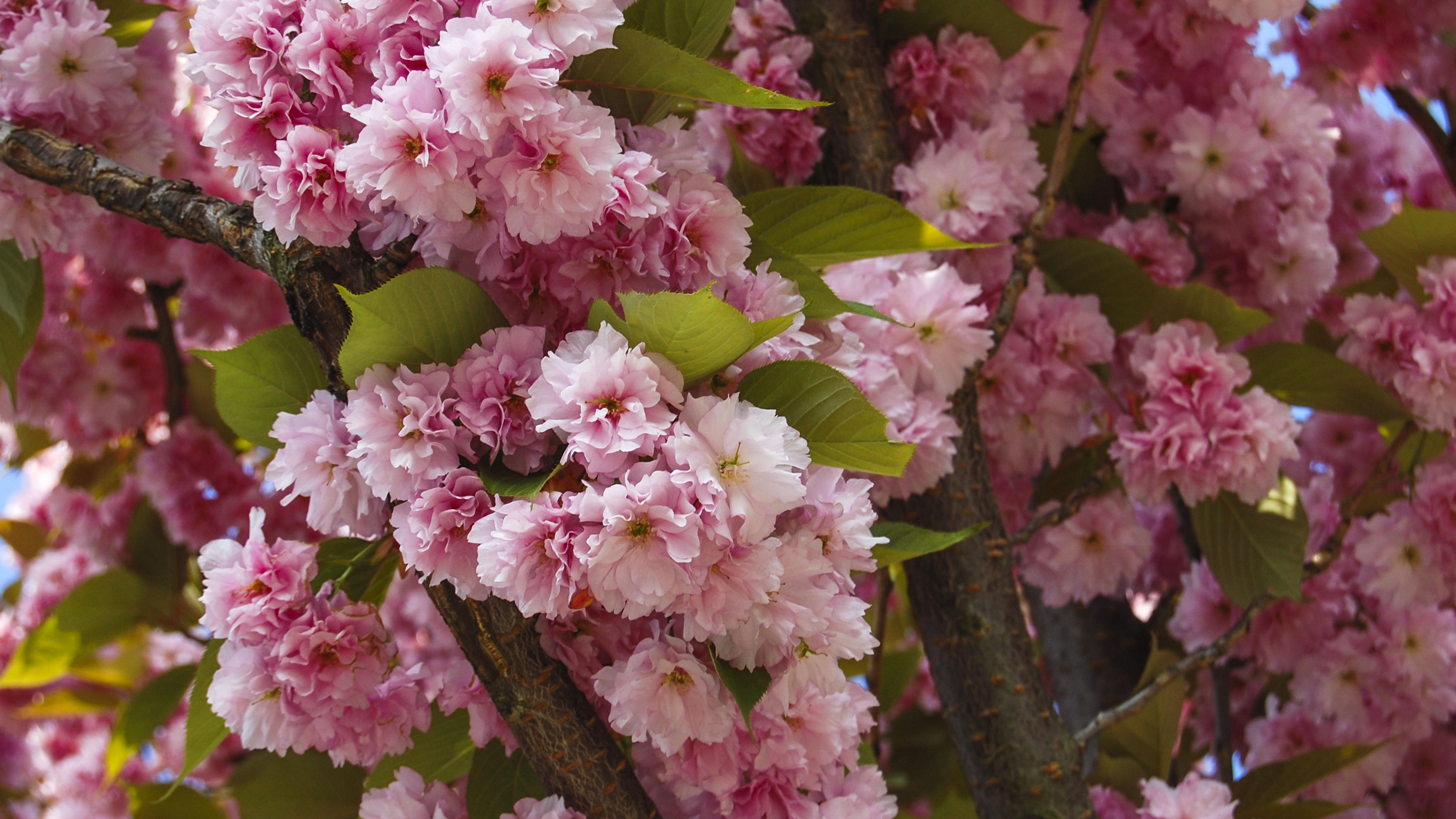 kanzan-sakura đặc biệt