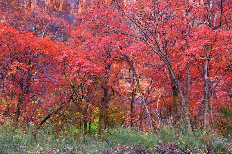 IMG_9505 Bigtooth Maple (Acer grandidentatum)