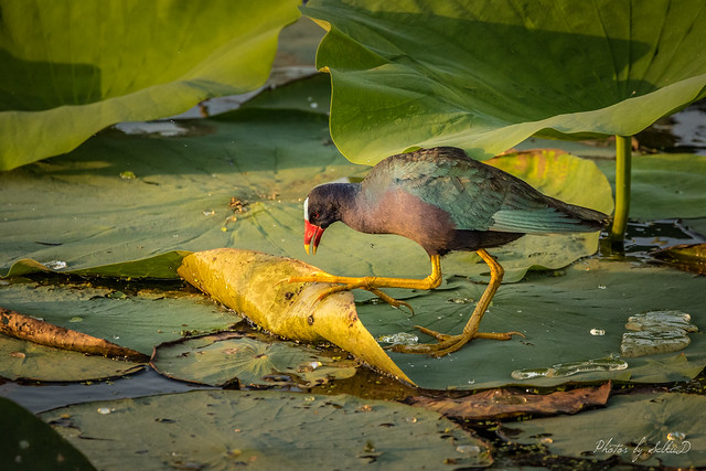 Early Morning Forager Among the Lotus Pads