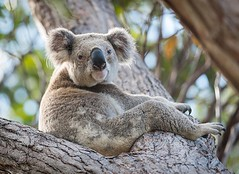 Here's to the weekend ! Hope your sitting back #relaxing like this #koala on Stradbroke island these classic #Australian animals are able to chili in a tree fork just about anywhere #animallovers #animalpolis #animalsofinstagram #igscwildlife #animales #e