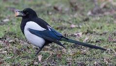 Pie bavarde - Pica pica - Eurasian Magpie : Michel NOËL © 2019-8691.jpg