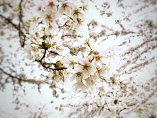 Bloeiende sakura