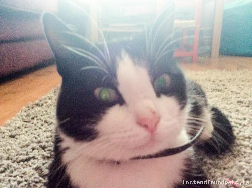 Mon, Nov 26th, 2018 Lost Male Cat - Chancery Park Downs, Tullamore, Offaly