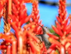 Peek-a-boo #hummingbird #Canon #wildlifephotography