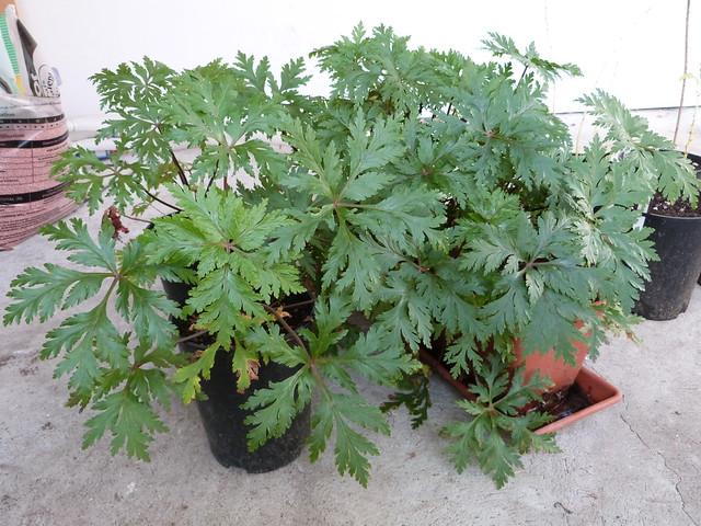 Devinette ... quelle est cette plante qui fait une superbe floraison au bout de 3 ans et meurt ? 44981948595_9d75287e02_z