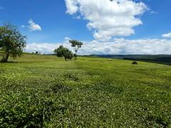 Tea plantations in Kericho county