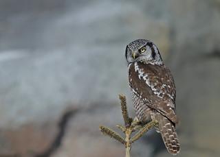 Northern Hawk Owl...#45