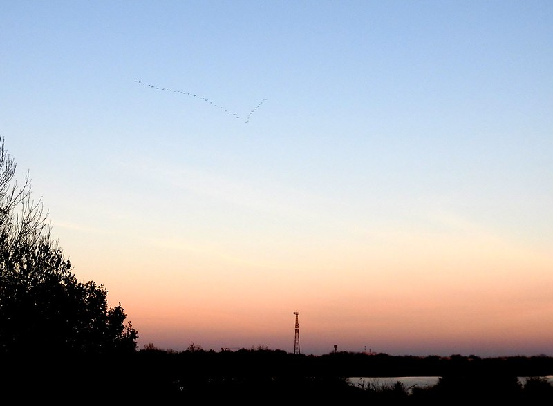 the flight of cranes today in the sunset