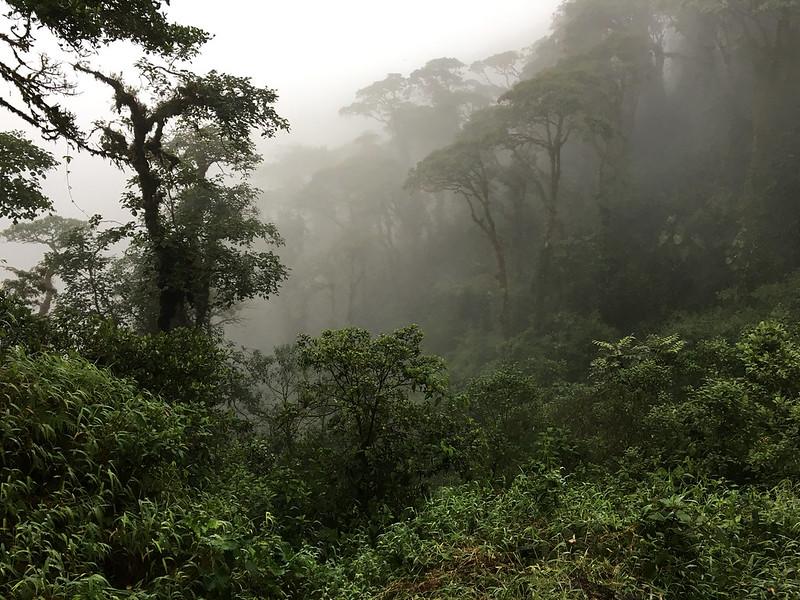Fog in a jungle.  Guacamayos Ridge trail (aka Gumandi trail).  Ecuador.