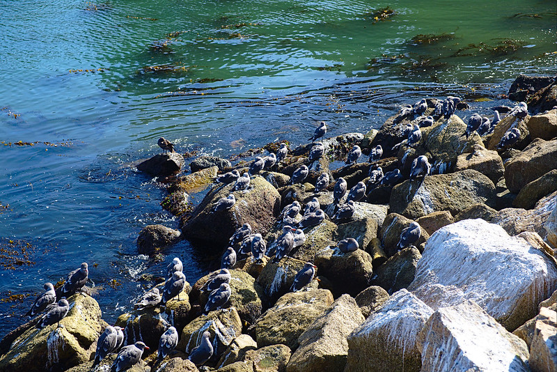 Sheltering birds, Cannery Point, Point Lobos