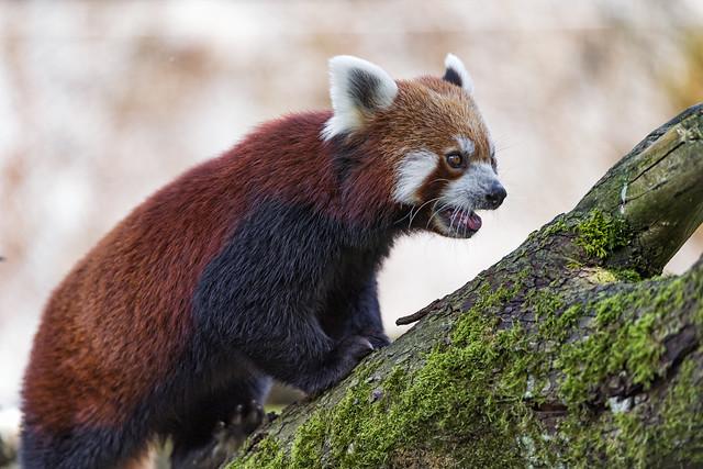 Red panda walking on, Nikon D5, AF-S VR Zoom-Nikkor 200-400mm f/4G IF-ED