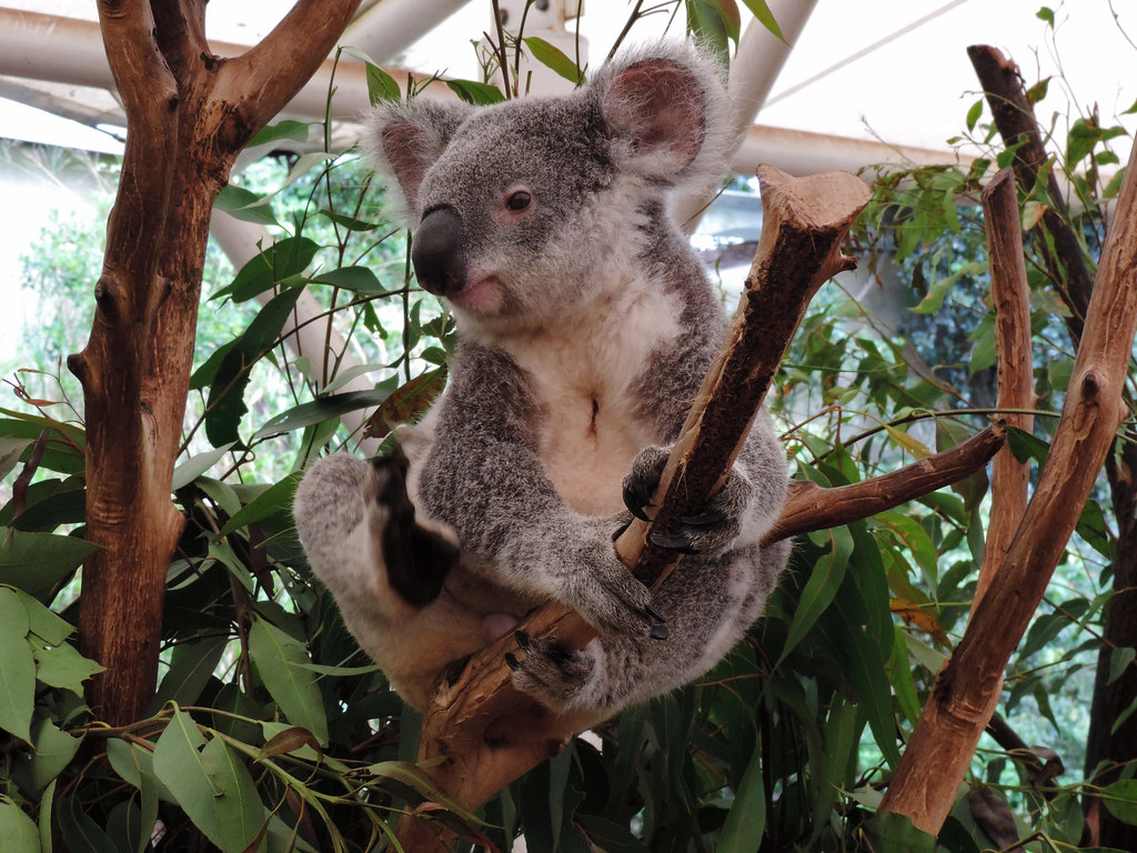 Koalas in Lone Pine Koala Sanctuary, Brisbane