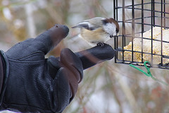 Black-Capped Chickadee with Rex