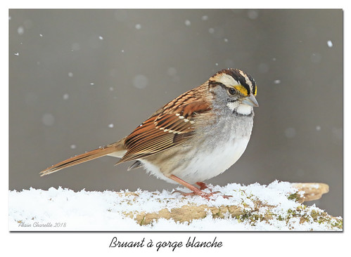 Bruant à gorge blanche / White-Throated Sparrow 153A3990