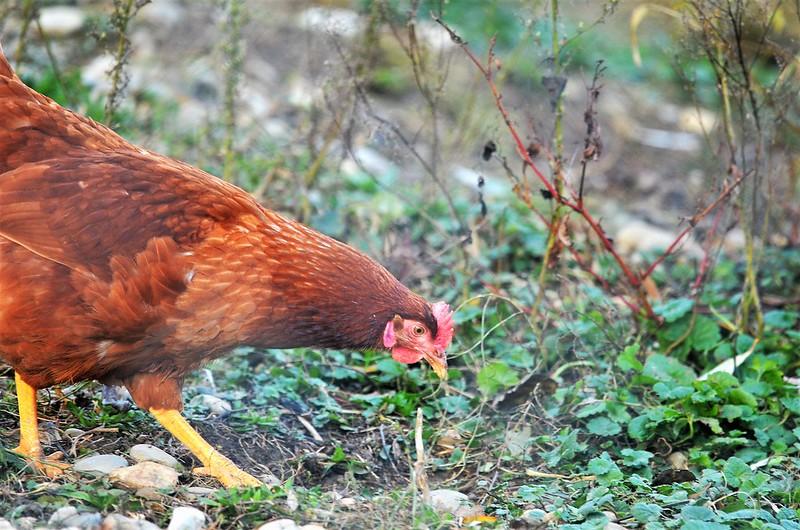 Chickens 20.11 (4)