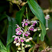 ~Rhynchostylis gigantea subsp. violacea (Lindl.) Christenson 1985 by ntgerald