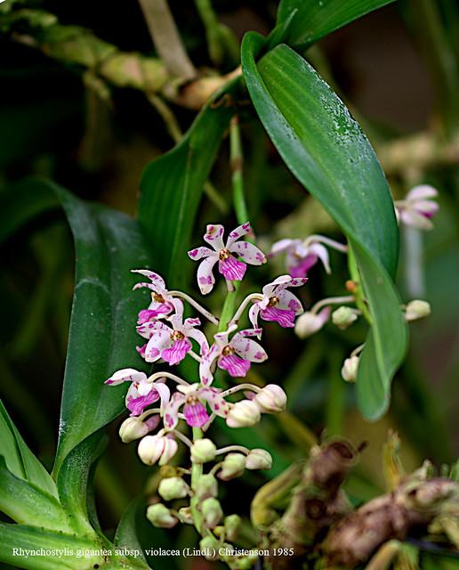 ~Rhynchostylis gigantea subsp. violacea (Lindl.) Christenson 1985