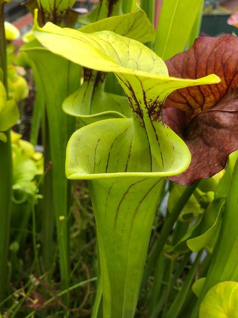 Sarracenia flava var. flava, ex Gotcha Plants