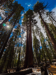 Sequoias at Giant Forest - Sequoia National Park, CA