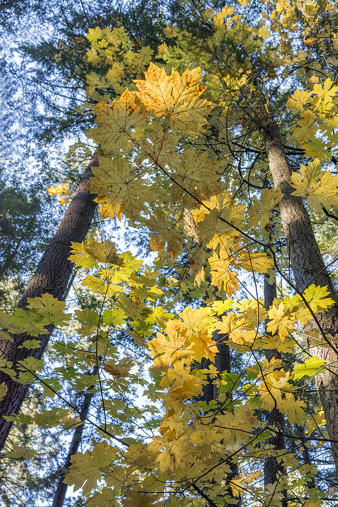 Big Leaf Maple Acer Macrophyllum Sunnyside Urban Forest Flickr
