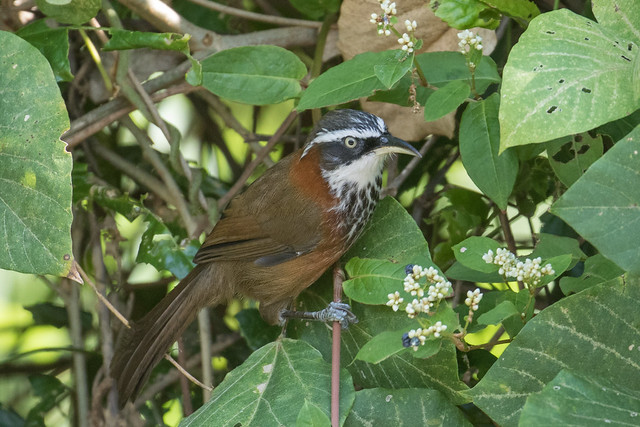 Taiwan Scimitar-Babbler (Endemic Species), 小彎嘴